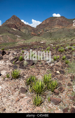 Lechuguilla Agave lechuguilla in the Chihuahuan desert of Big Bend National Park Texas USA - Stock Photo