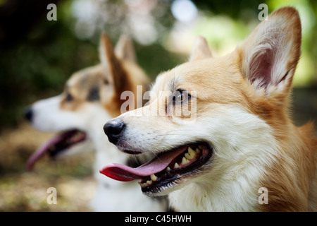 Two Pembroke Welsh Corgi dogs with their tongues out, one dog sharp in foreground and one dog blurred out in the - Stock Photo