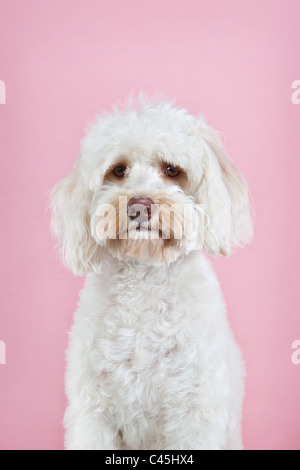 Fluffy white Maltese dog on a pink studio background. - Stock Photo