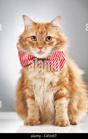 A longhaired fluffy orange cat wearing a bowtie and sticking out a pink tongue, shot in a studio on a white table - Stock Photo