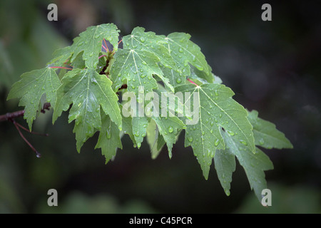 Red maple leaves with rain drops - Stock Photo