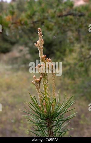 Developing terminal buds and branches of Jack Pine Pinus banksiana Northern Michigan USA - Stock Photo