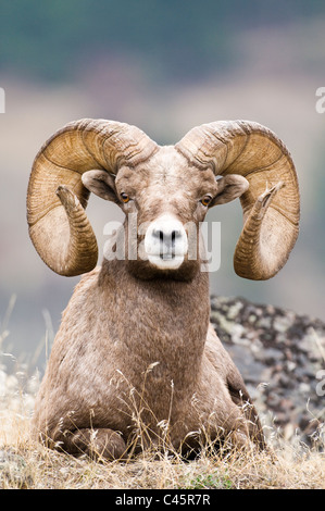 Rocky Mountain bighorn sheep ram (Ovis canadensis canadensis) - Stock Photo