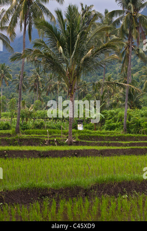 CASSAVA (Manihot esculenta), RICE, BANANAS and COCONUT TREES grow in a rich agriculture valley near PEMUTERAN - - Stock Photo