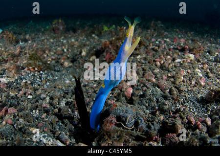 Ribbon Eel, Rhinomuraena quaesita, male adult and young, KBR, Lembeh Strait, Sulawesi, Indonesia. - Stock Photo