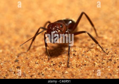 Sand dune ant Camponotus detritus, Namib desert, Namibia - Stock Photo
