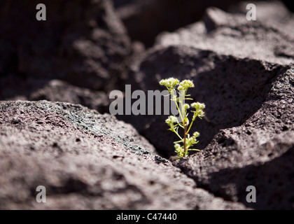A plant growing out of a thin crack in igneous volcanic rock (lava rock) - California USA - Stock Photo