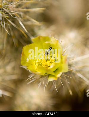 Cholla cactus in bloom - Mojave, California USA