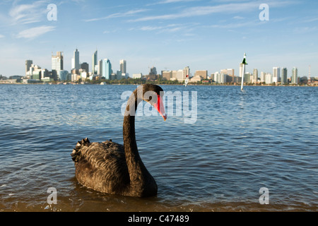 Black swan (Cygnus atratus) on Swan River with city skyline in background. Perth, Western Australia, Australia - Stock Photo