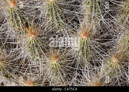 Cactus spines in close up Chihuahuan desert Big Bend National Park Texas USA - Stock Photo
