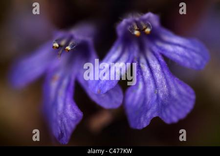 Ajuga reptans - Blue bugle - Bugleherb - Bugleweed - Carpetweed - Carpet Bungleweed - Common bugle - Burgundy lace - Stock Photo