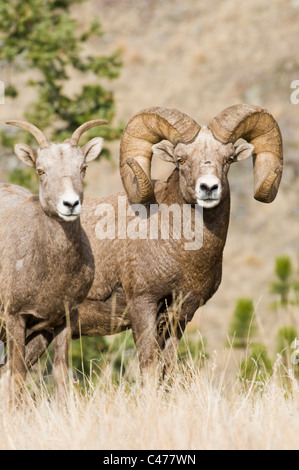 Rocky Mountain bighorn sheep ram (Ovis canadensis canadensis) and ewe during rut on Wildhorse Island in Flathead - Stock Photo