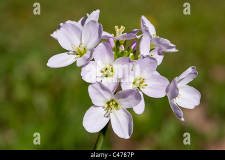 Cuckoo flower or lady's smock or milkmaid. Different wildflower names - Stock Photo