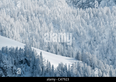 Snow covered forest in winter, Berchtesgaden national park, Bavaria, Germany - Stock Photo