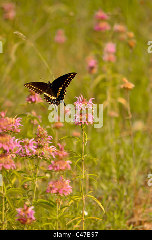 Texas Thistle and Black Swallowtail Butterfly - Stock Photo
