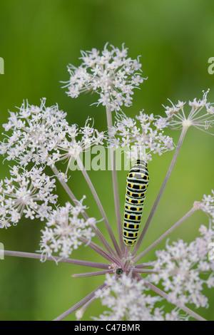 Old World Swallowtail (Papilio machaon) caterpillar - Stock Photo