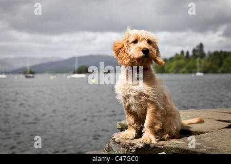 Cockapoo Puppy Dog on a rock next to a lake - Stock Photo