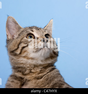 Tabby cat head portrait photographed against a blue seamless background in a studio.