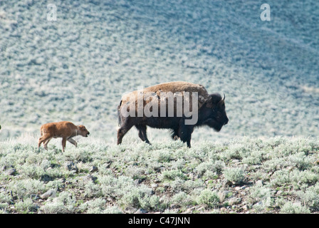 American bison (Bison bison) cow with calf in Yellowstone National Park USA - Stock Photo
