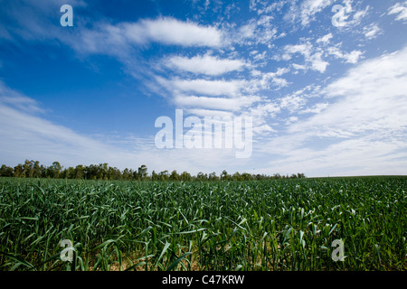 Photograph of a wheat field in the western Negev - Stock Photo