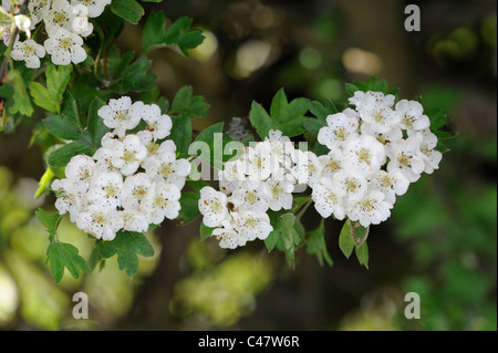 Hawthorn blossom, crategus monogyna, close up of flowers, Norfolk, England, May - Stock Photo