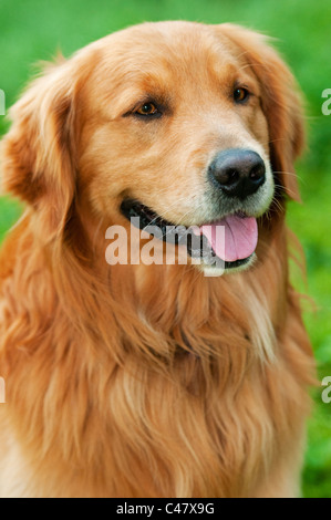 Adult male Golden Retriever showing tongue - (Canis lupus familiaris) - Stock Photo