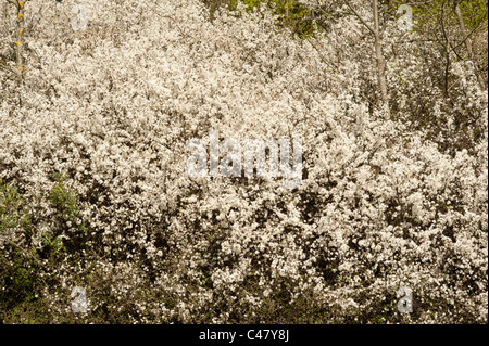 Blackthorn, Prunus spinosa, South Downs, Sussex, UK - Stock Photo