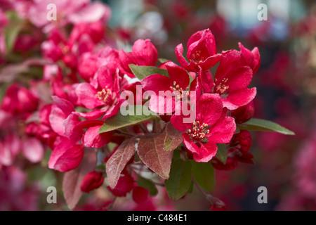 Malus 'Royalty' Crab Apple Tree Blossom - Stock Photo