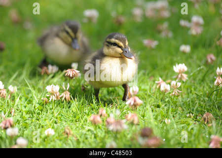 A close up of a pair of cute, baby ducklings walking through the grass.... - Stock Photo
