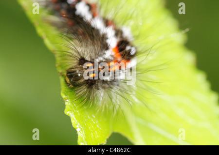 Yellow-tail, Goldtail Moth or Swan Moth (Euproctis similis) Caterpillar - Stock Photo