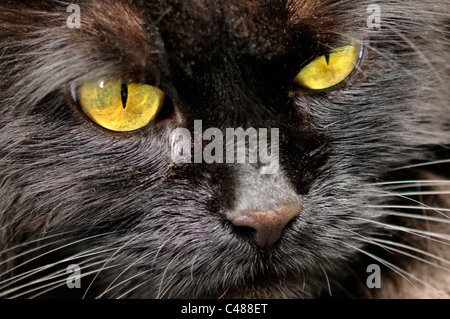 Close up of black cat. - Stock Photo