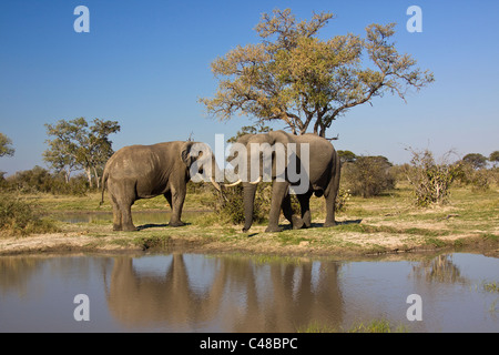 Afrikanischer Elefant (Loxodonta africana) am natürlichen Wasserloch, Savuti, Botswana, Afrika - Stock Photo