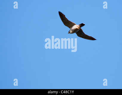 Peregrine Falcon (Falco peregrinus) circling in sky looking for prey below off the Pembrokeshire coast in Wales - Stock Photo
