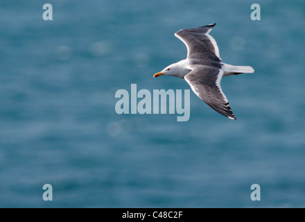 Lesser Black backed Gull (Larus fuscus) gliding over Atlantic, Pembrokeshire, Wales - Stock Photo