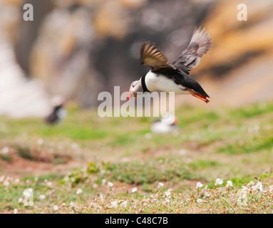 Atlantic Puffin (Fratercula arctica) in Flight on Skomer Island off the Pembrokeshire Coast in Wales