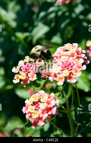 Common bubble bee pollinating a Lantana (verbena family) flower, in the gardens at Magnolia Plantation & Gardens, - Stock Photo