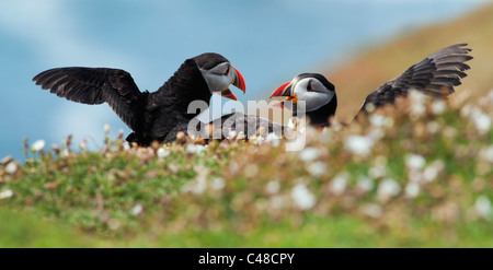 Pair of Atalntic Puffins on Skomer Island, Pembrokeshire, Wales - Stock Photo