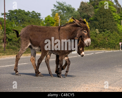 Wild donkey with foal crossing a road in the New Forest National Park Hampshire England UK - Stock Photo