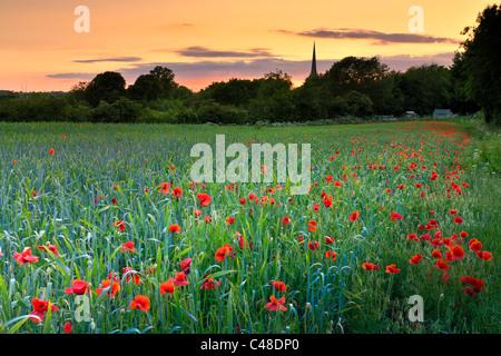 Tetbury Poppy Field - Stock Photo