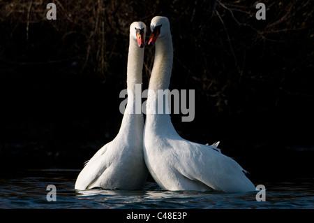 Hoekerschwaene, balzende, Cygnus olor, Displaying Mute Swan, Isar, Muenchen, Munich, Deutschland, Germany - Stock Photo