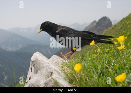 Alpendohle, Pyrrhocorax graculus, Alpine Chough, Westliche Karwendelspitze, Mittenwald, Bayern, Bavaria, Deutschland, - Stock Photo