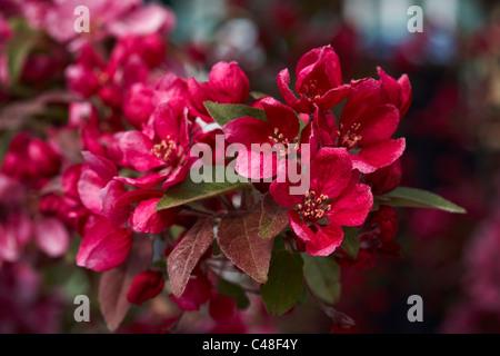 Malus Royalty Crab Apple Tree Blossom - Stock Photo