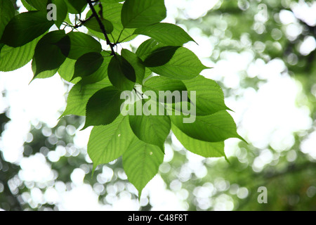 Detail of green leaves on tree - Stock Photo