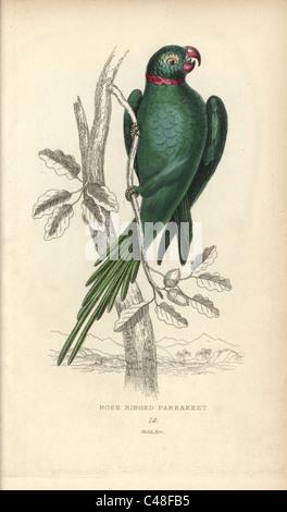 Rose-ringed parakeet, Psittacula krameri. - Stock Photo