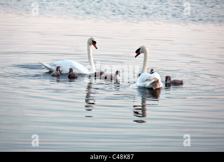Mute swan - Cygnus olor - family of adult swans with cygnets, Lackford Lakes Suffolk UK - Stock Photo