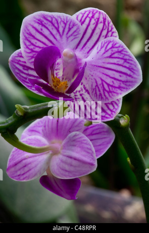Orchidee, Orchidaceae - Stock Photo