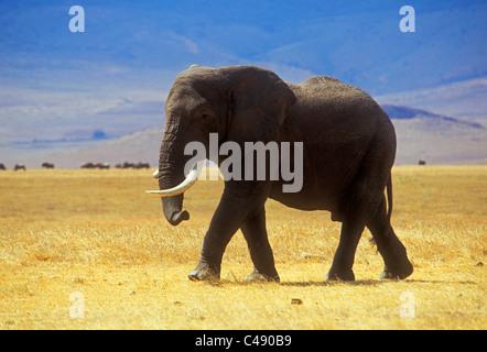 An elephant walks through the grassy plains of  Ngorongoro National Park, Tanzania, Africa. - Stock Photo