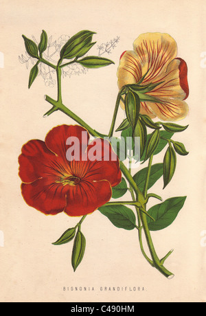Chinese trumpet vine, Bignonia grandiflora.