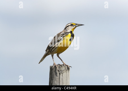 Eastern meadowlark (Sturnella magna) perched on post - Stock Photo