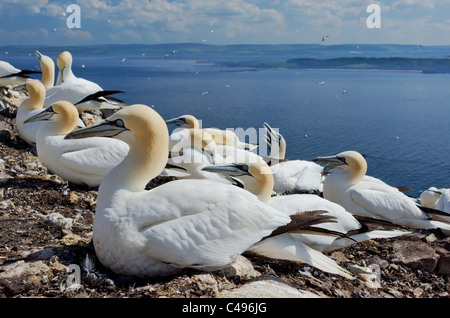 Nesting Gannets on Bass Rock with the East Lothian coast of Scotland in the background. - Stock Photo